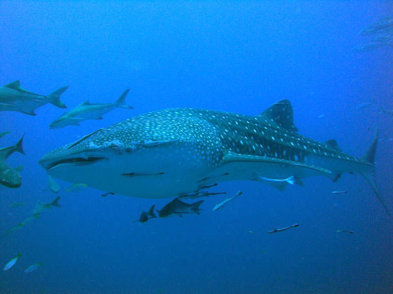 Whale Shark Sail Rock Diving Koh Phangan